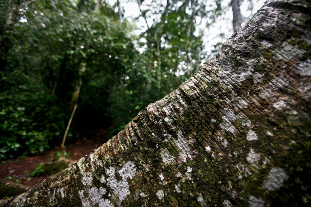 One among many tree trunks I met in Mabira Forest while trailing the Blue route. President Yoweri Museveni recently proposed that over 7,100 hectares of part of Mabira reserve forest be given to Methta group of companies for Sugar cane plantation.