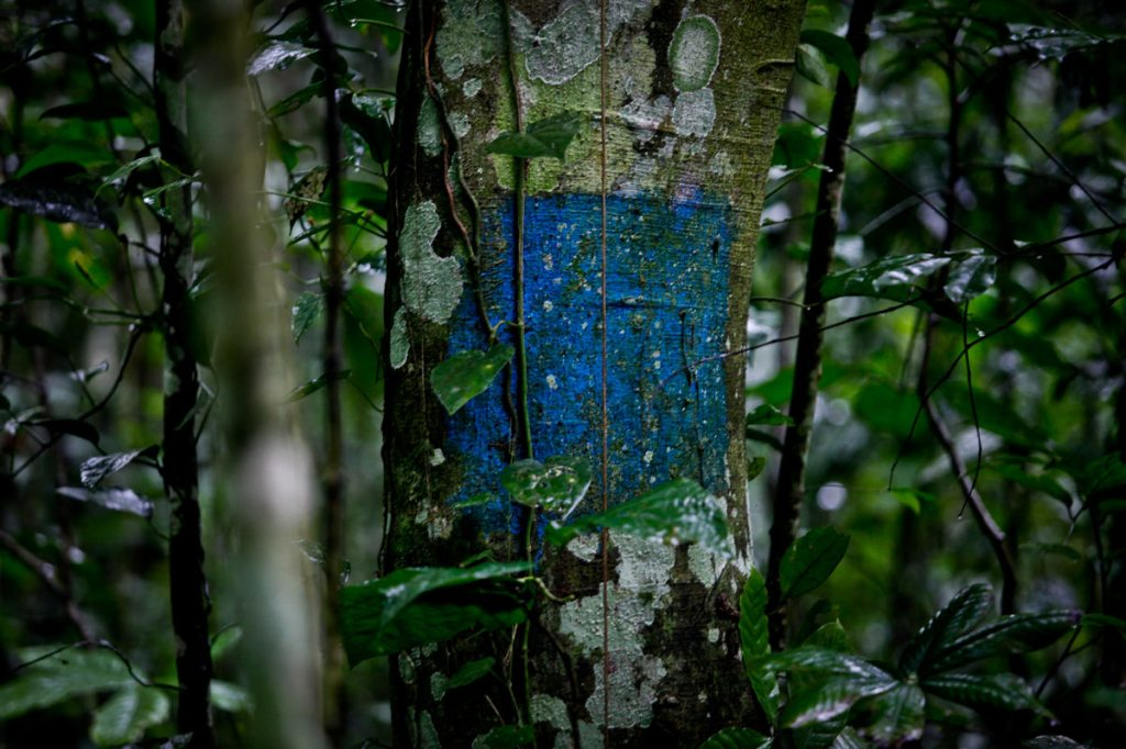 Along the trail are trees marked with the different colours as guide. President Yoweri Museveni recently proposed that over 7,100 hectares of part of Mabira reserve forest be given to Methta group of companies for Sugar cane plantation.