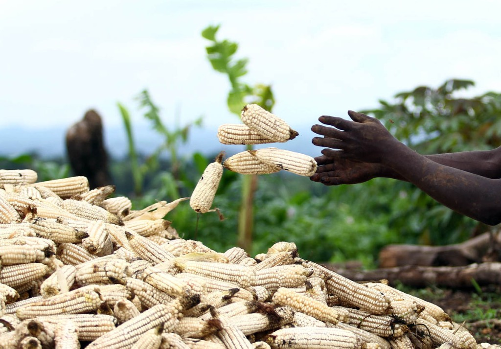 A displaced family sorts maize cobs next to their makeshift house built since the National Forestry Authority (NFA) and Police forcefully evicted them and 22,500 other people in Kiboga and Mubende districts to allocate the land to New Forests Company (NFC) to plant trees as part of a lucrative scramble for arable land that can be used to satisfy the multi-billion dollar carbon trading ponzi scheme, which is worth $1.8 million a year to the company