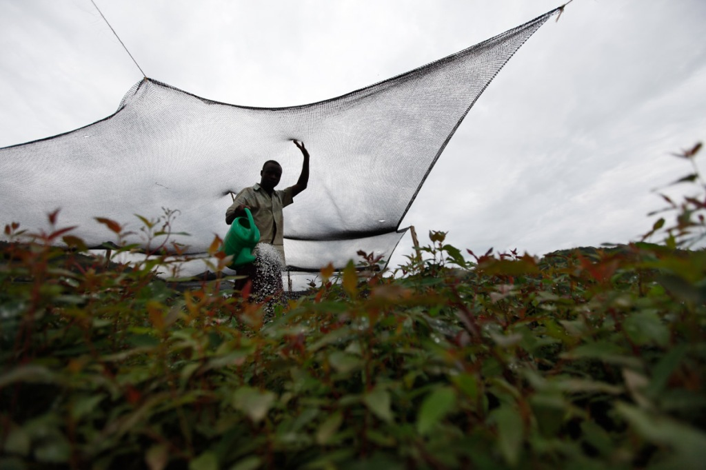 A worker is seen watering seedlings belong to the New Forests Company (NFC). NFC has been accused in a report by Oxfam to have caused the forceful displacement of 22,500 people in Kiboga and Mubende districts for them to plant trees as part of a lucrative scramble for arable land that can be used to satisfy the multi-billion dollar carbon trading ponzi scheme, which is worth $1.8 million a year to the company