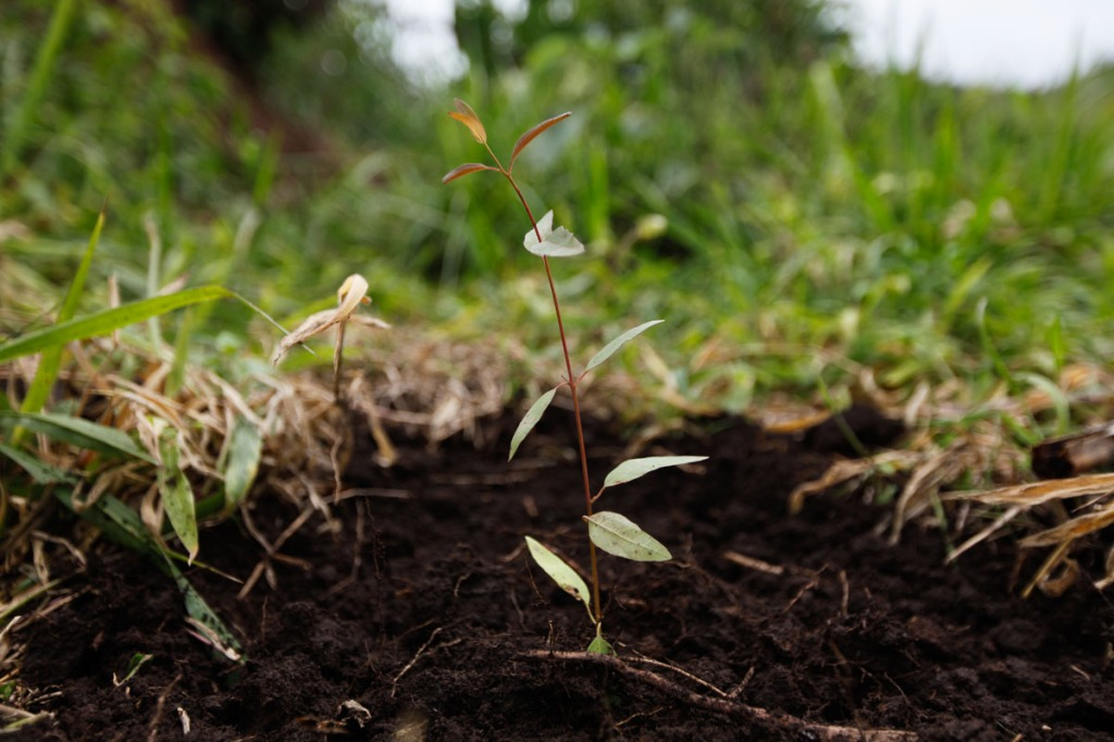 FRESH: A newly planted New Forests Company (NFC) seedling grows in Mubende. NFC has been accused in a report by Oxfam to have caused the forceful displacement of 22,500 people in Kiboga and Mubende districts for them to plant trees as part of a lucrative scramble for arable land that can be used to satisfy the multi-billion dollar carbon trading ponzi scheme, which is worth $1.8 million a year to the company