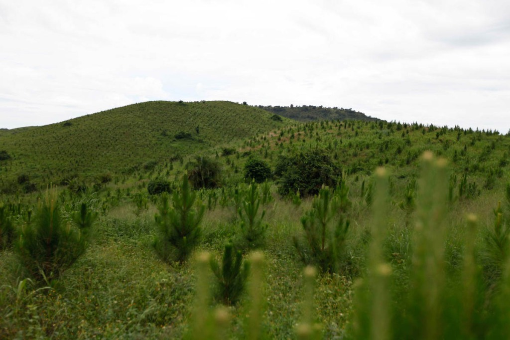 A Plantation of pine trees is seen in Mubende. New Forests Company (NFC) has been accused in a report by Oxfam to have caused the forceful displacement of 22,500 people in Kiboga and Mubende districts for them to plant trees as part of a lucrative scramble for arable land that can be used to satisfy the multi-billion dollar carbon trading ponzi scheme, which is worth $1.8 million a year to the company