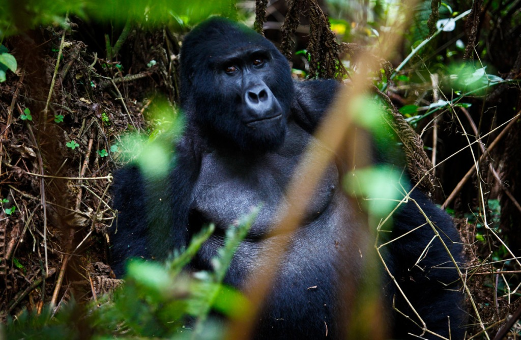 A silverback gorilla takes a break from food hunting in Bwindi Impenetrable Forest, about 550km (341 miles) west of Kampala, Uganda's capital on October 14, 2011. There is an ongoing Gorilla Census in Bwindi National Park by the Uganda Wildlife Authority in cooperation with wildlife authority bodies from DR. Congo and Rwanda, two only other countries where Gorillas are found globally. The last census took place in 2006 which registered 302 gorillas. The endangered mountain gorillas are the largest of the great apes who share 97% of their biology with human beings. The world's remaining mountain gorillas live within four national parks, split in two regions that are 45 kilometers (28 miles) apart.